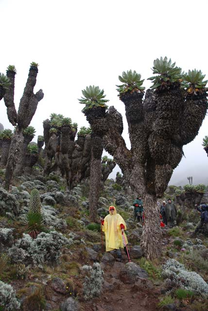 Giant groundsel on Kilimanjaro